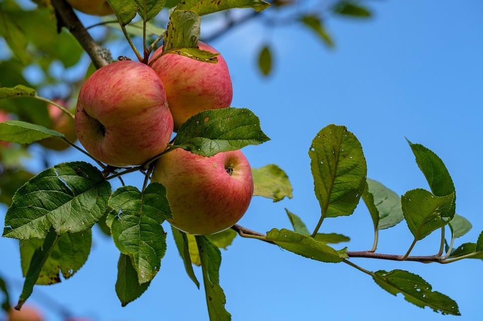 Frukt på jobbet. Äpplen